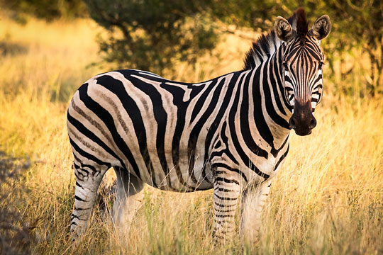Black-and-white stripes on an African zebra