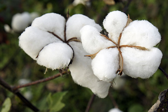 Cotton - ready to harvest