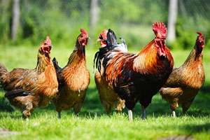 Poultry photo