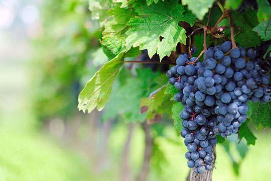 Grapes growing in a vineyard